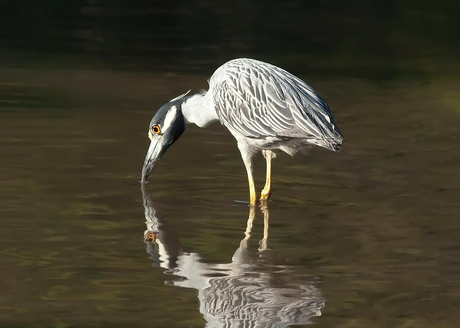 Yellow Crowned Night Heron Kiss The Water #2 Photograph