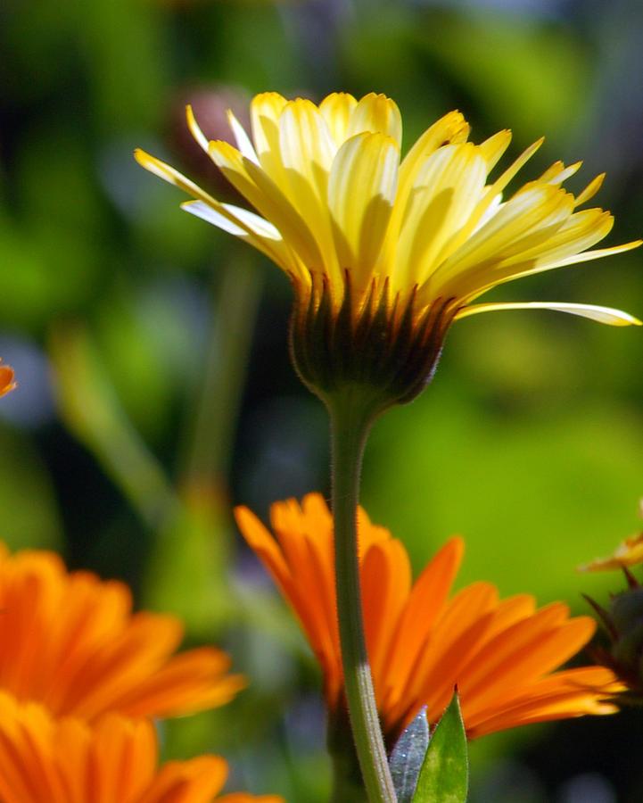 Daisy Photograph - Yellow Daisy by Amy Fose