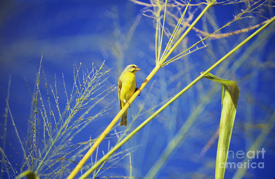 Animal Art Photograph - Yellow Fronted Canary by Bob Abraham - Printscapes