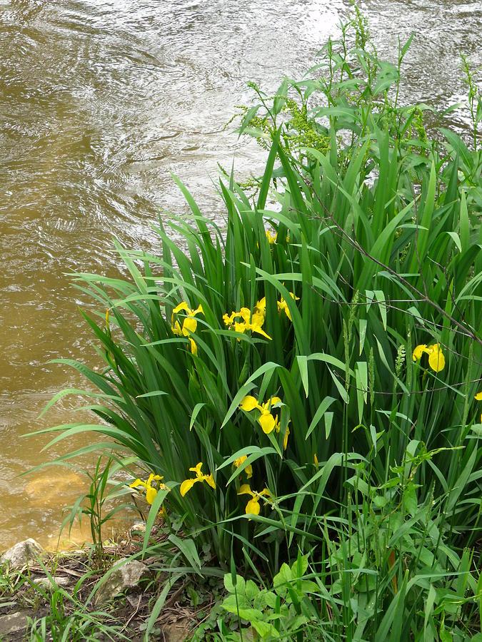 Flowers Photograph - Yellow Iris by Anna Villarreal Garbis