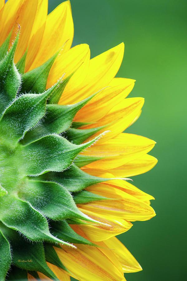 Yellow Sunflower Photograph