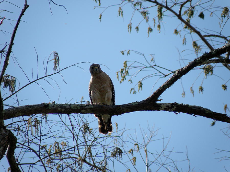 Yellow Tailed Hawk Photograph