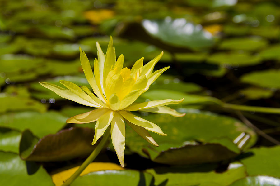 yellow water lily flower - photo #8