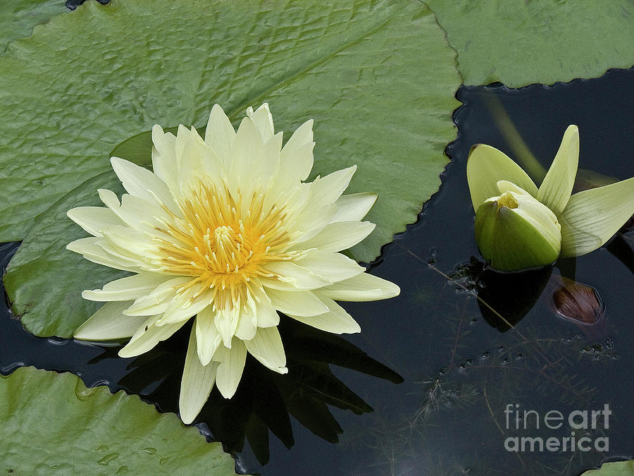 Yellow Water Lily With Bud Nymphaea Photograph