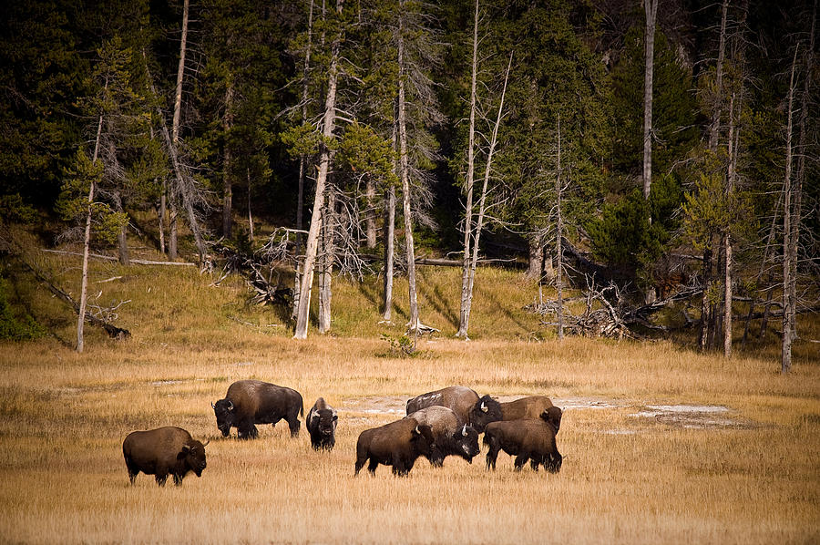 Bison Photograph - Yellowstone Bison by Steve Gadomski