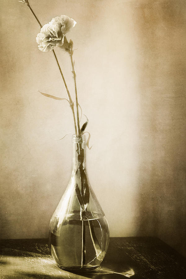 Carnation Photograph - Yesterday by Lisa McStamp