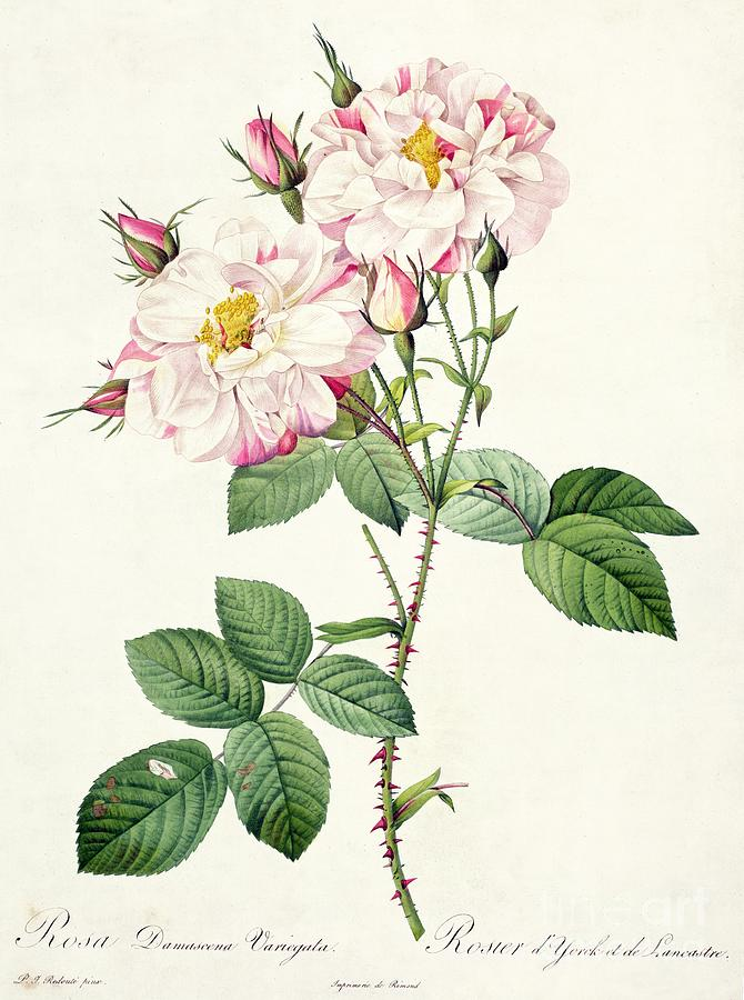 Rosa Drawing - York And Lancaster Rose by Pierre Joseph Redoute
