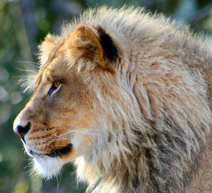 Lion Photograph - Young King Close Up by Nick Gustafson