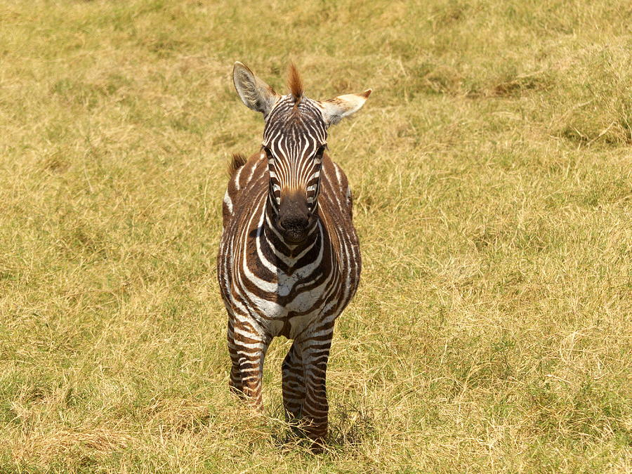 Young Zebra Photograph by Bruce Thompson