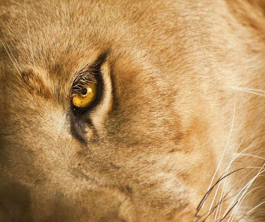 Lion Photograph - Your Lion Eye by Carolyn Marshall