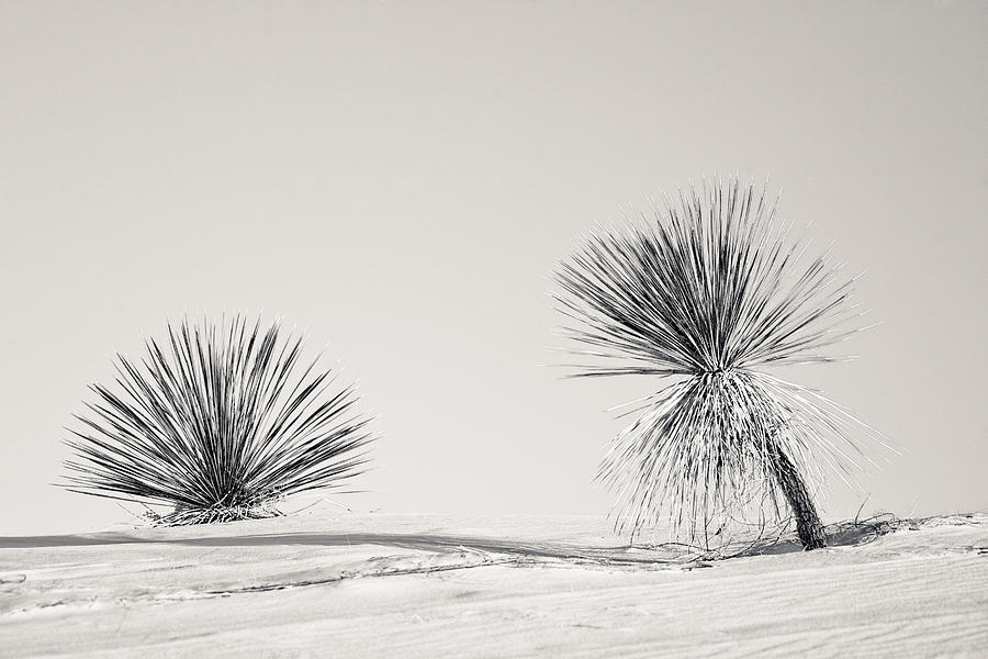Yucca Photograph - yucca in White sands by Ralf Kaiser