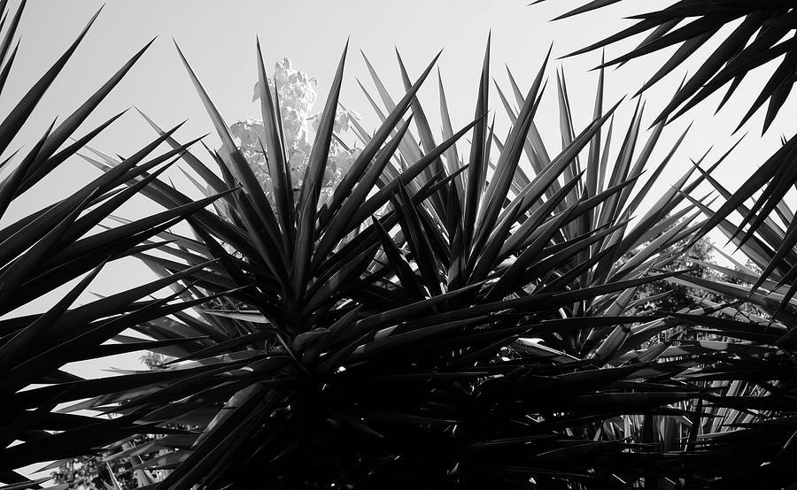 Yucca The Spanish Dagger Photograph