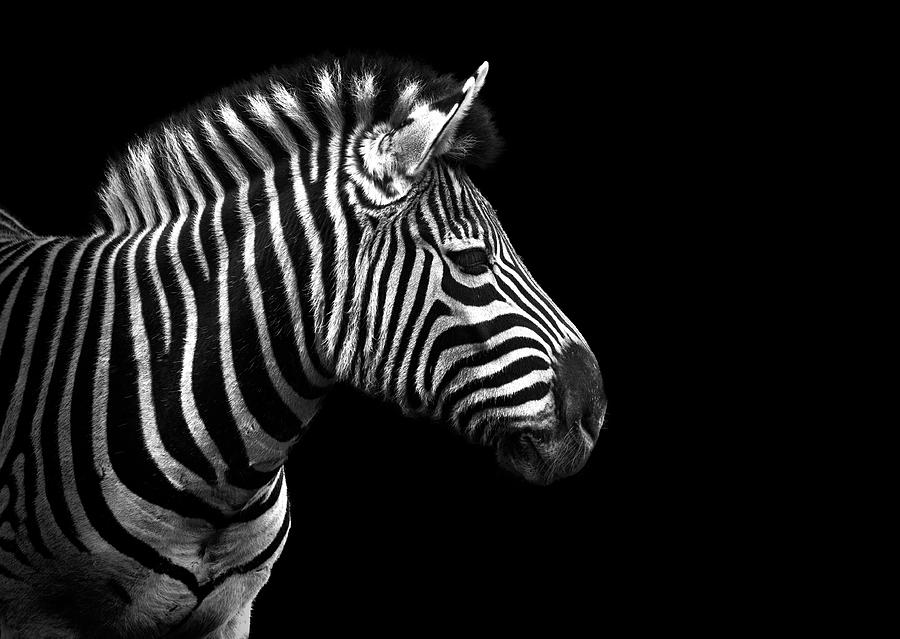 Horizontal Photograph - Zebra In Black And White by Malcolm MacGregor
