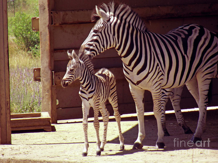 Zebra Mom And Baby Photograph - Zebra Mom And Baby by Methune Hively
