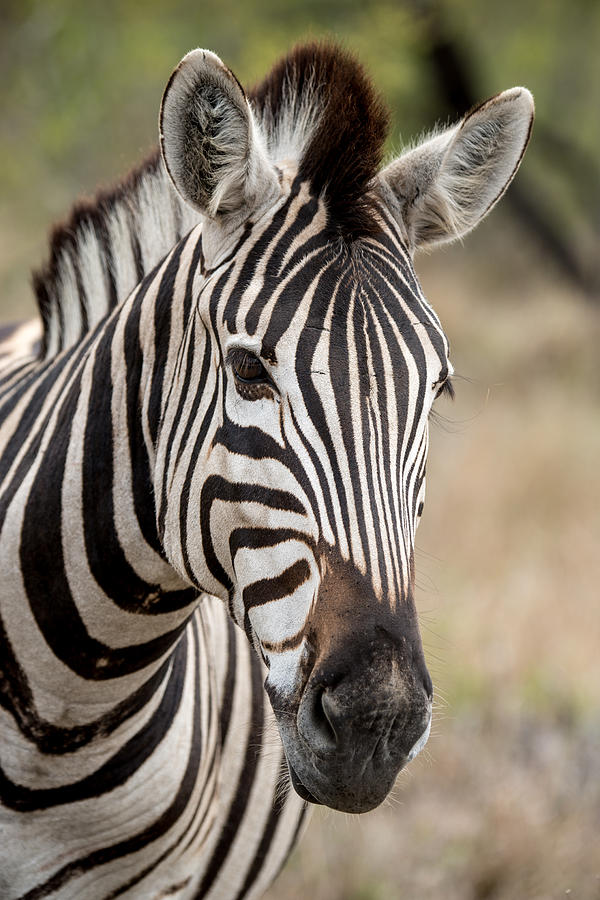 Zebra Profile by Laure...