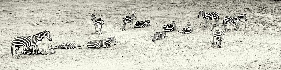 Zebras Baskin Photograph