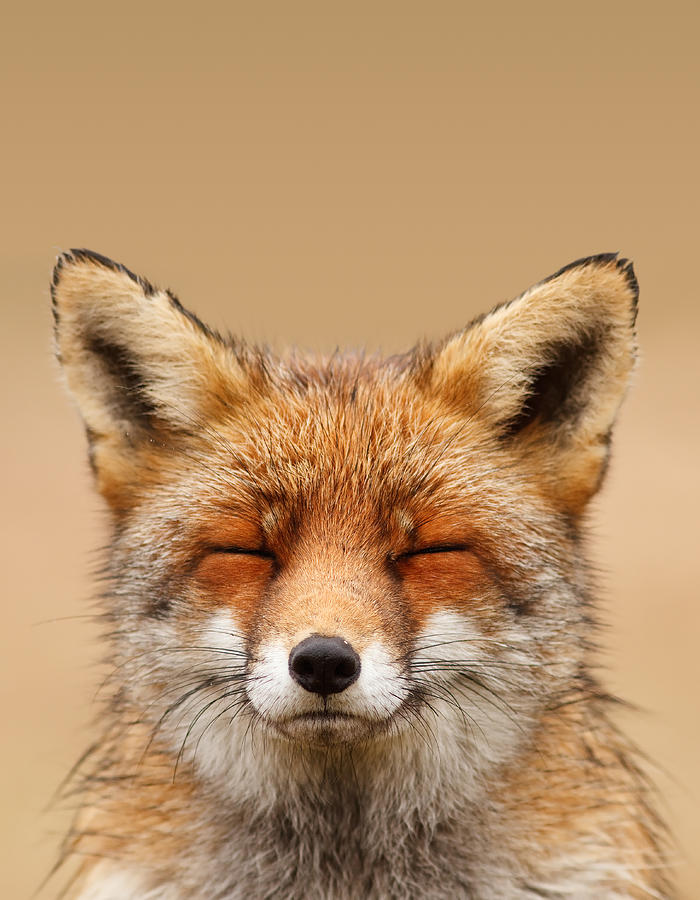 Zen Fox Series - Smiling Fox Portrait Photograph by Roeselien Raimond