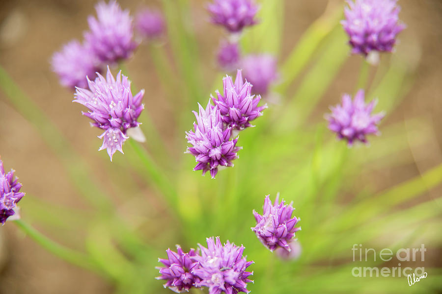 Chives Photograph