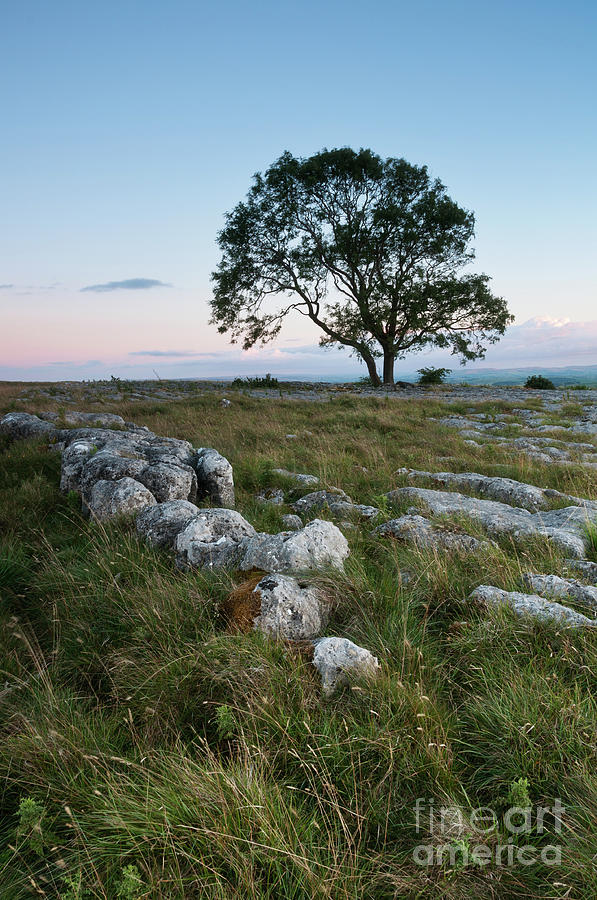 Lonely Tree On The Limestone Pavement Photograph