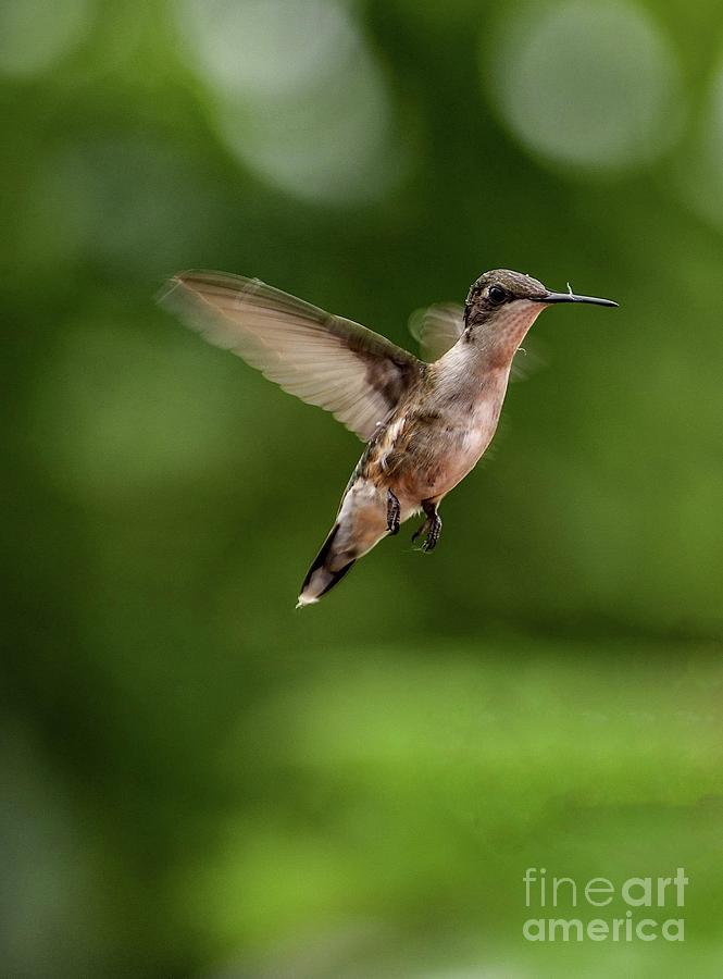 Hovering Ruby-throated Hummingbird Photograph