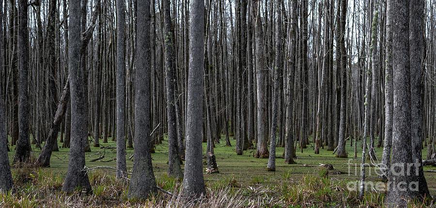 Ace Basin Swamp Photograph