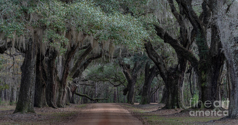 Allee Of Live Oaks - Lowcountry Southern Plantation Photograph