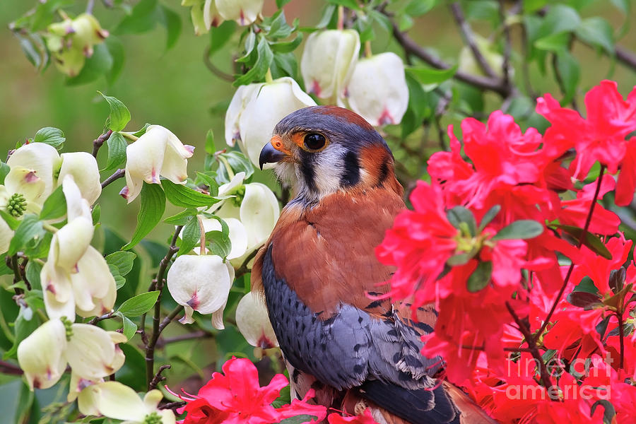 American Kestrel Sitting In The Spring Azaleas Photograph