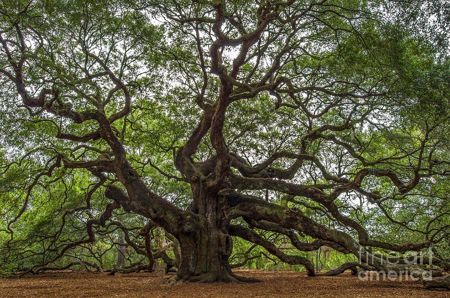 Angel Oak Tree Mysteries Photograph