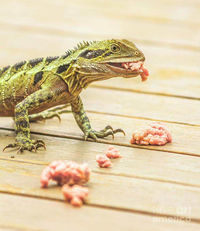 Australian Water Dragon Photograph