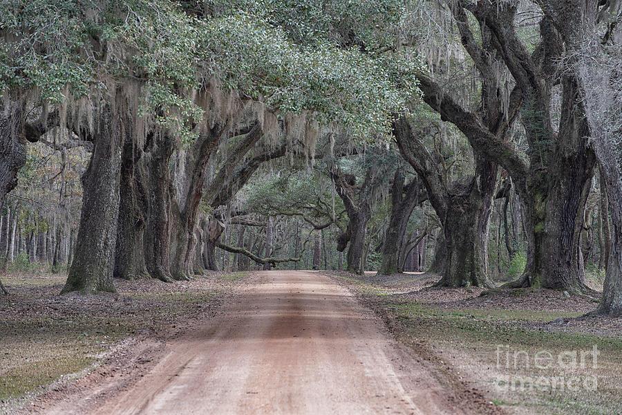 Avenue Of Oaks Photograph