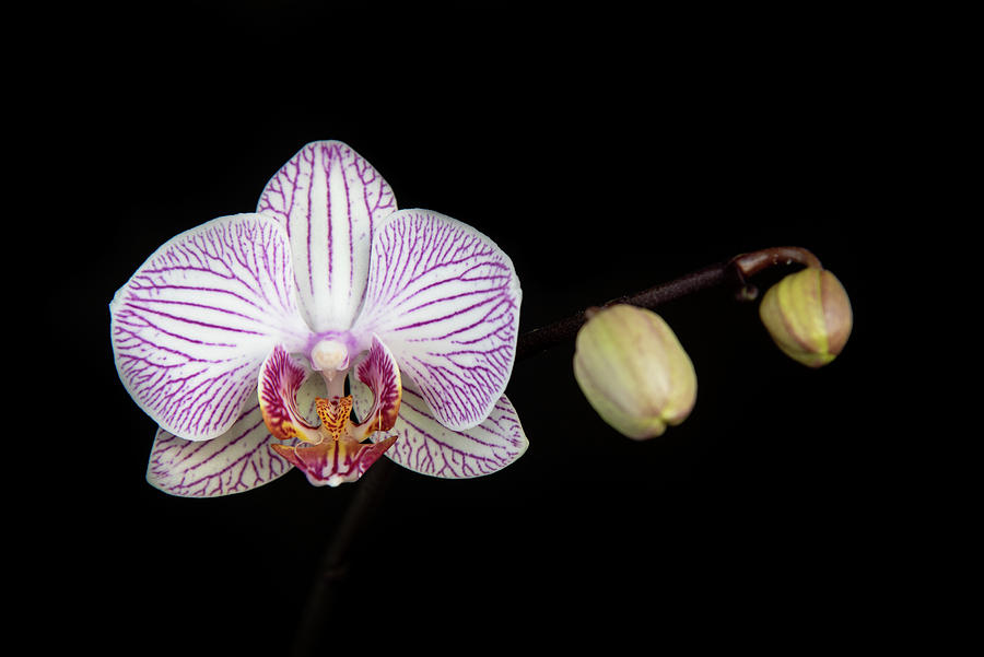 Beautiful Orchid, Phalaenopsis, Flower Photograph