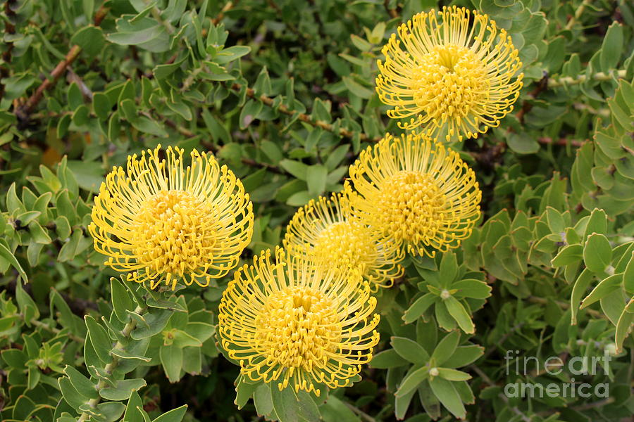 Bright Yellow Blooms Photograph