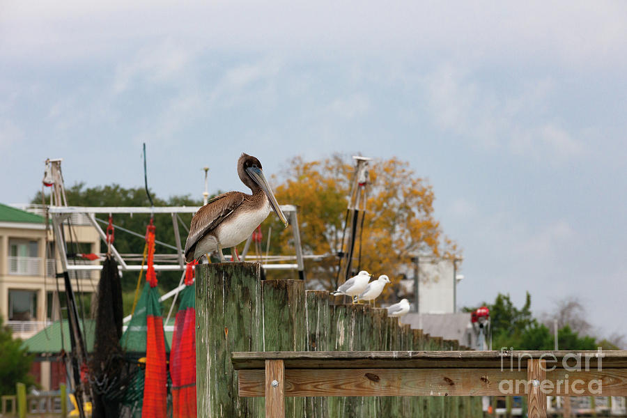 Brown Pelican - Shem Creek Photograph
