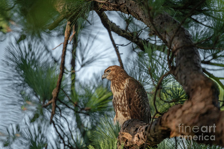 Capable Hunter - Red Tailed Hawk Photograph