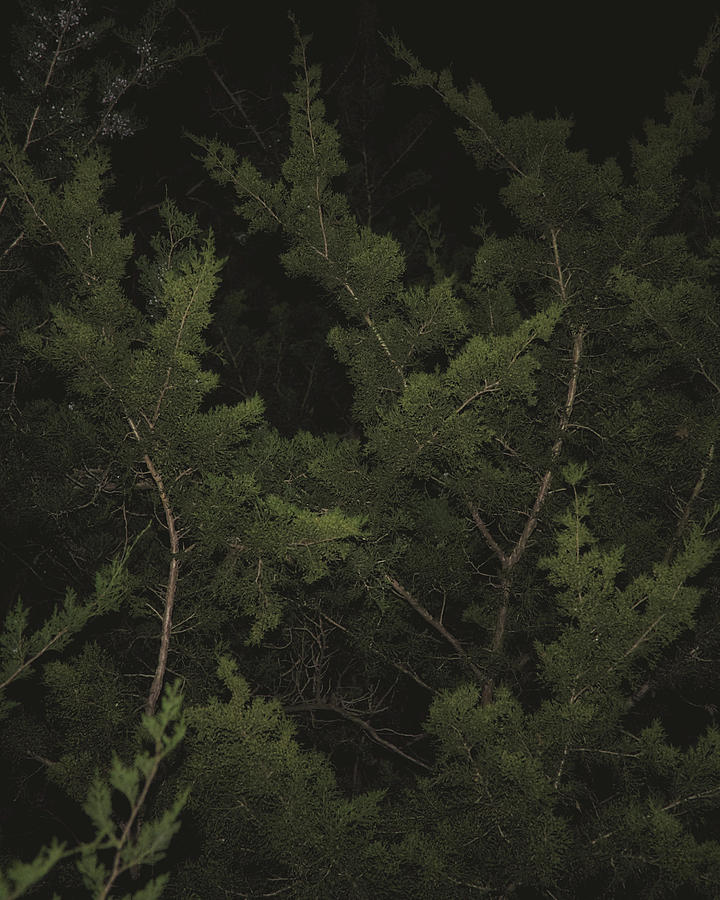 Cedar Branches In The Dark Photograph