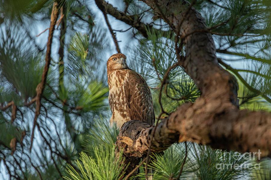 Chicken Hawk Photograph