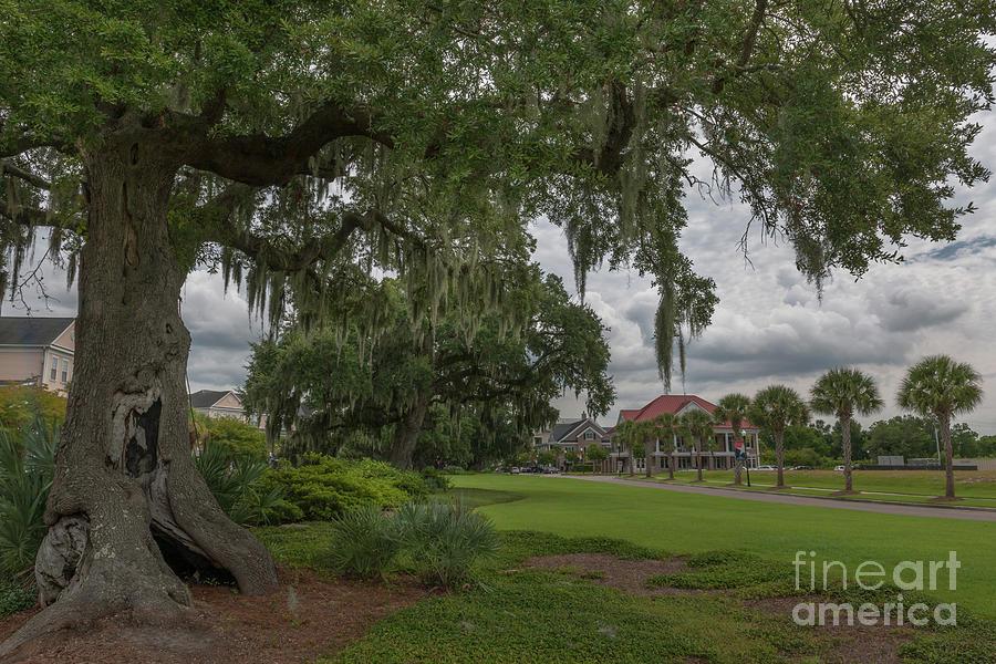 Daniel Island - Southern Live Oak Tree Photograph
