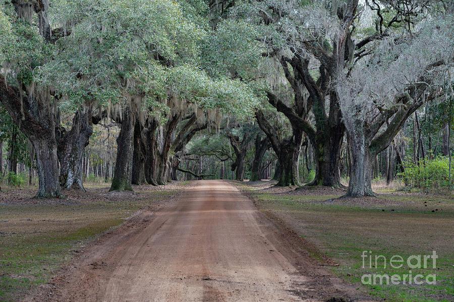 Dirt Road Avenue Of Oaks Photograph