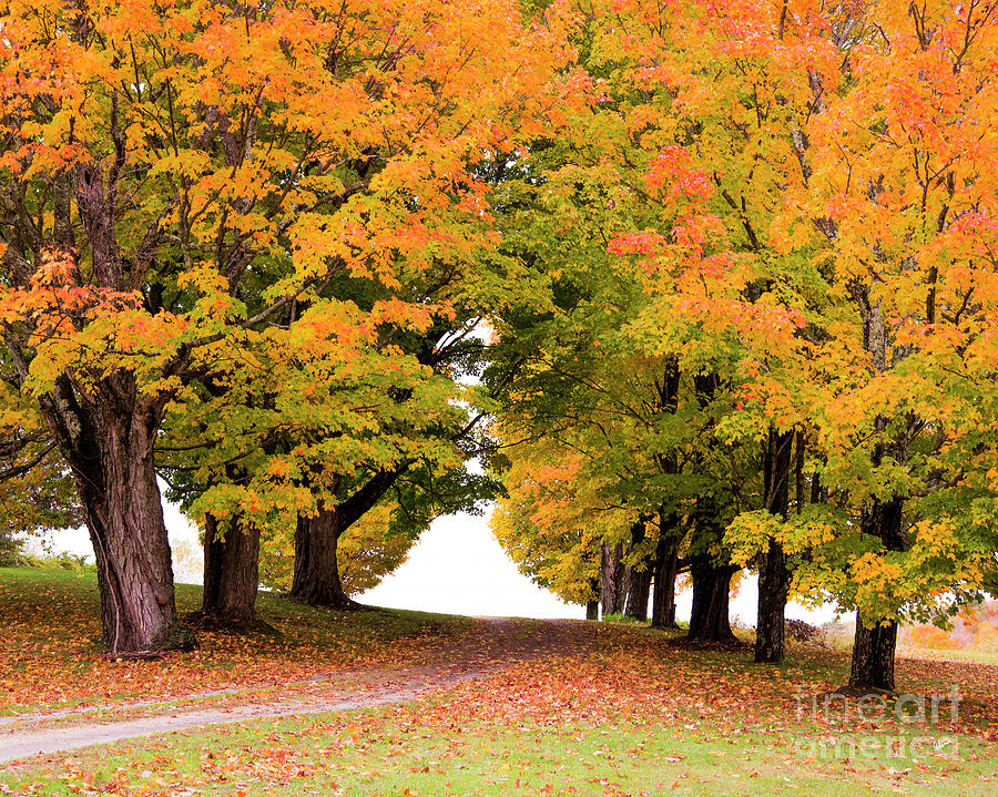 Driveway Lined With Maples Photograph