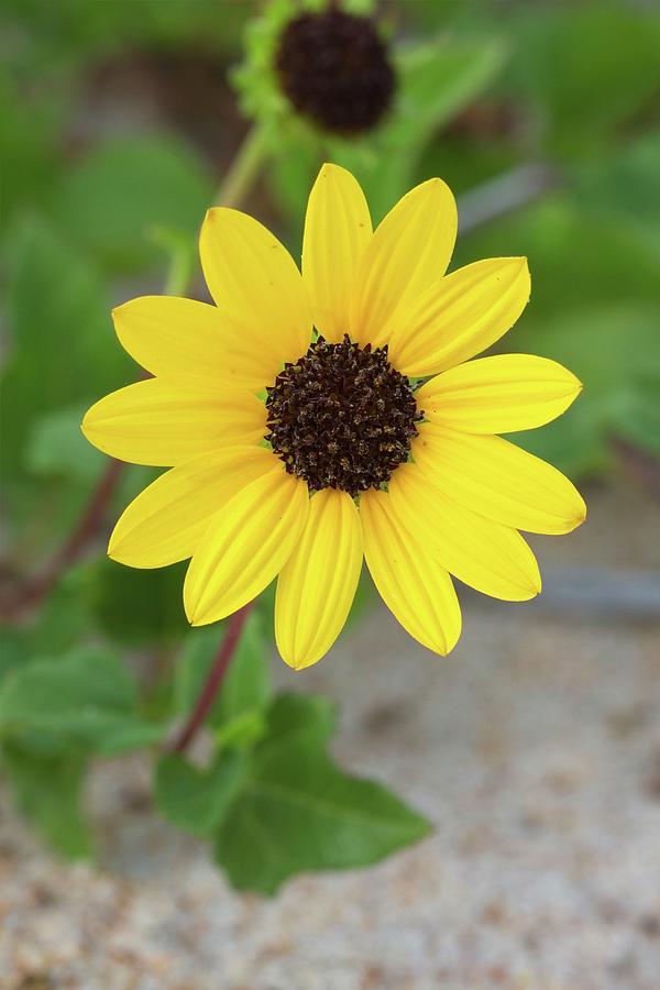 Dune Sunflower Photograph