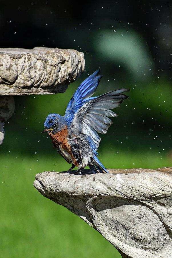 Eastern Bluebird Expressing Pure Delight Photograph