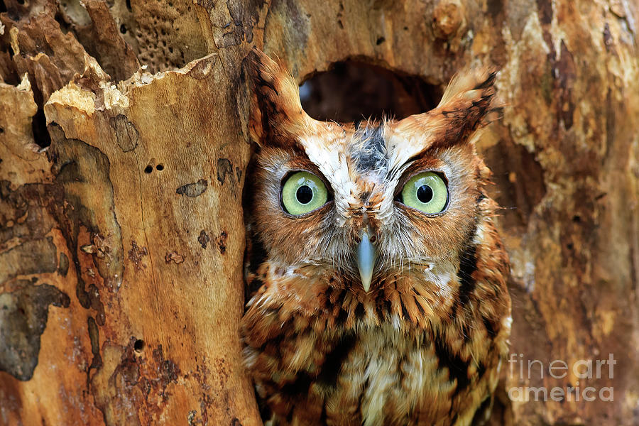 Eastern Screech Owl Perched In A Hole In A Tree Photograph
