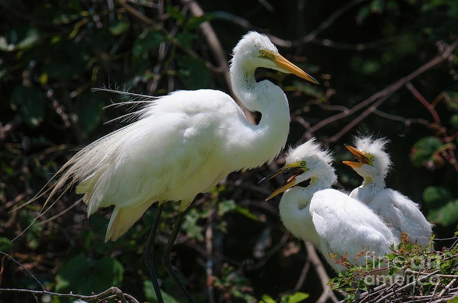 Egret Chicks Photograph