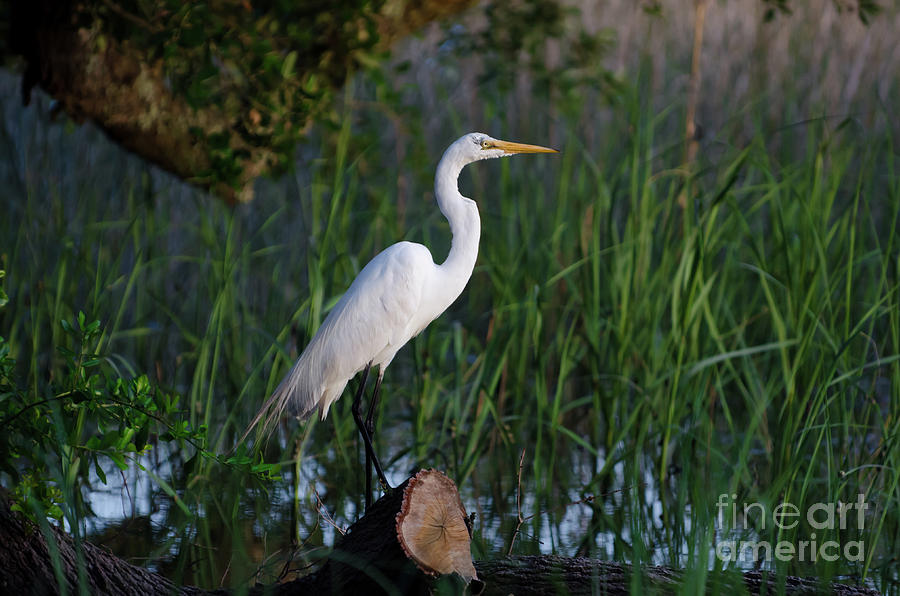 Egret - Marsh Fishing Photograph