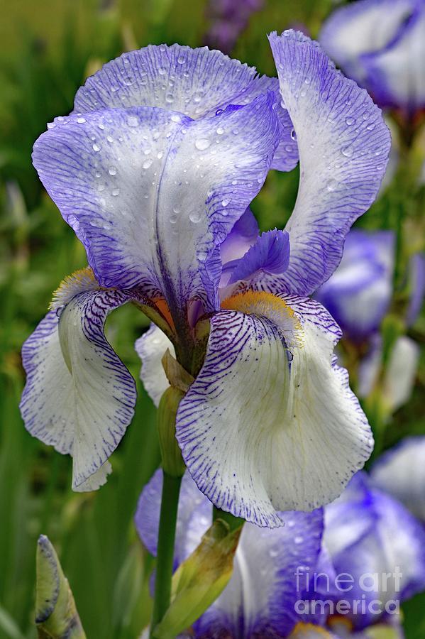 Elegant Bearded Iris After A Shower Photograph