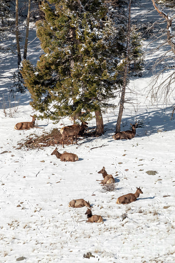 Elk In May Snow Photograph