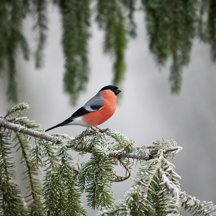 Eurasian Bullfinch When The Winter Comes Photograph