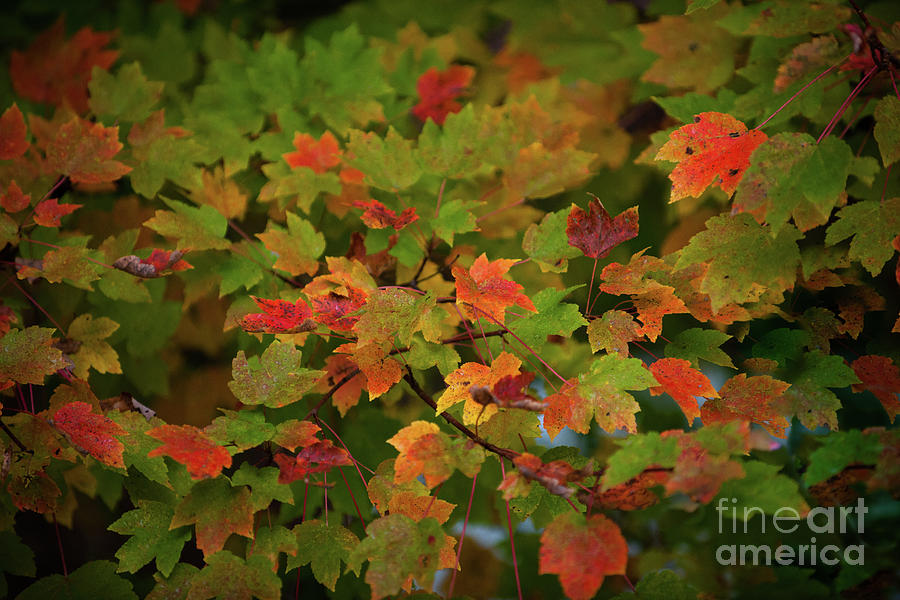 Fall Color - Maple Tree Photograph