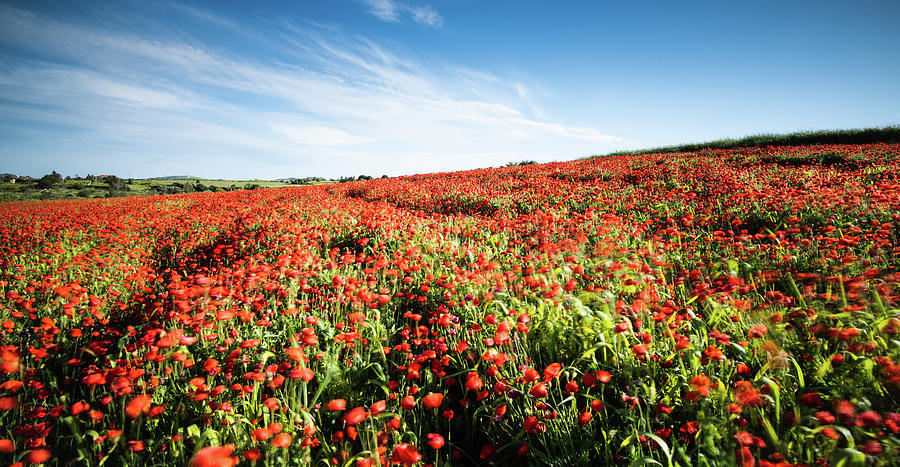 Field Full With Red  Poppy Anemone Flowers. Photograph