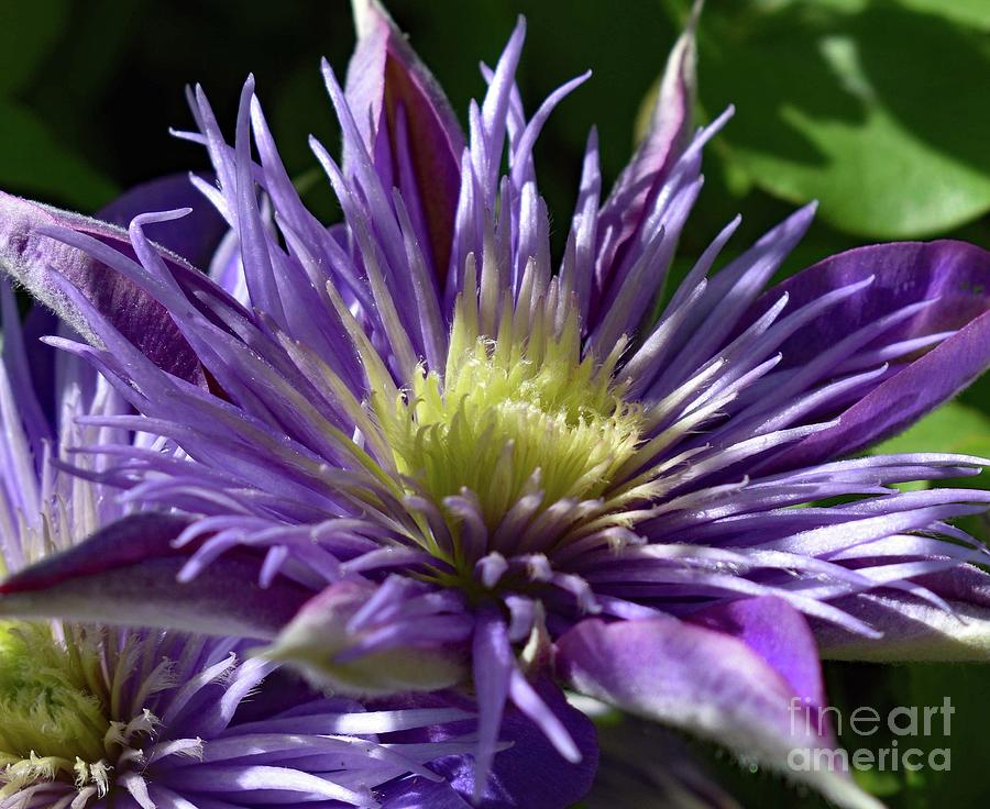 Flawless Crystal Fountain Clematis Photograph